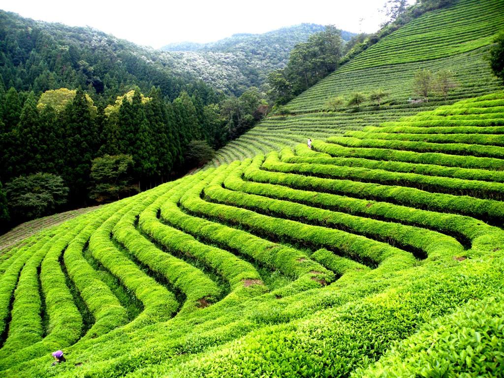 Японский чай плантации