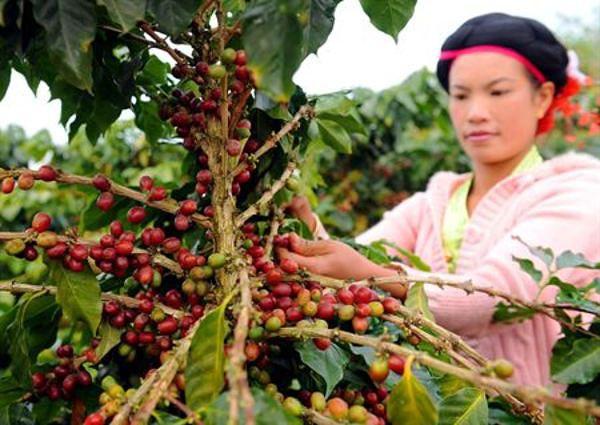 Юньнаньский кофе