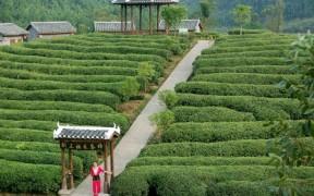 Линцан - крупнейший чайный город Китая